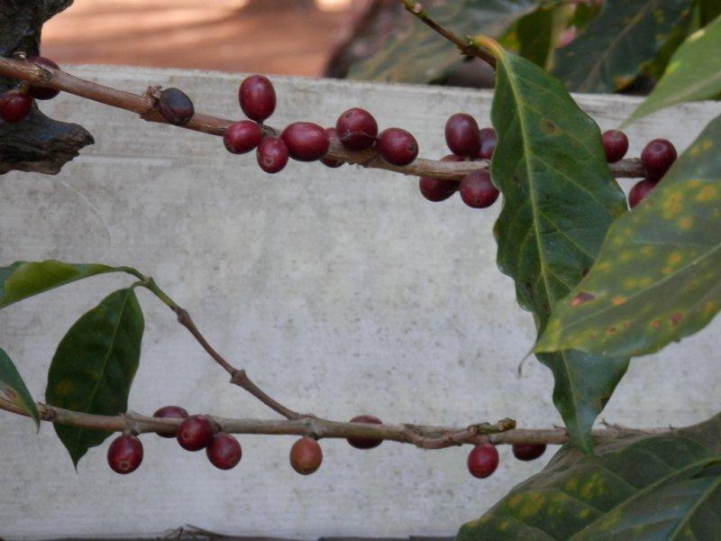 110 Kaffeebohnen 1